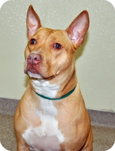 Pit Bull Terrier Mix Dog for adoption in Port Washington, New York - Egypt