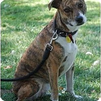 Adopt A Pet :: Brandy - San Francisco, CA