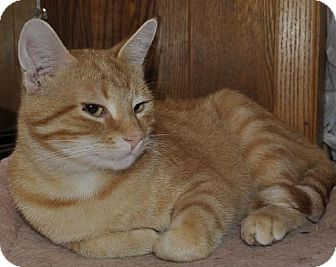 Domestic Mediumhair Cat for adoption in Abrams, Wisconsin - Oliver