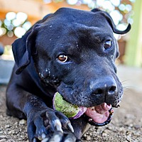 Pit Bull Terrier/American Staffordshire Terrier Mix Dog for adoption in Acton, California - Durango