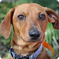 Adopt A Pet :: Dusk - Gainesville, FL