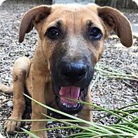 Adopt A Pet :: Driggs - Austin, TX