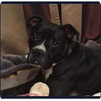 Adopt A Pet :: Cassius - Brentwood, TN