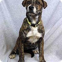 Adopt A Pet :: Ophelia - Westminster, CO
