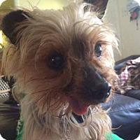 Adopt A Pet :: Petey - Chesterfield, MO