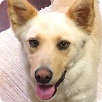 Adopt A Pet :: Sugar Bear - Pawling, NY