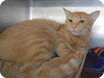 Domestic Shorthair Cat for adoption in Kansas City, Missouri - Goldie
