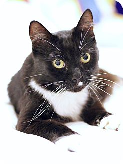 Domestic Shorthair Cat for adoption in Hesperia, California - Gallo