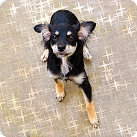 Chihuahua/Dachshund Mix Dog for adoption in Granbury, Texas - Nicole