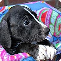 Adopt A Pet :: Pupper - Durham, NC