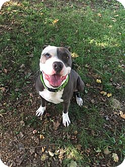 Pit Bull Terrier Mix Dog for adoption in St. Charles, Missouri - Pirate
