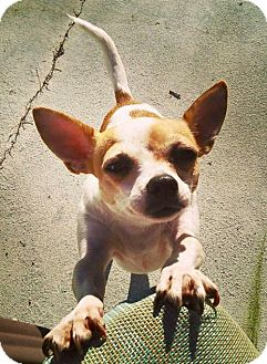 Chihuahua Dog for adoption in Palm Harbor, Florida - Jennie