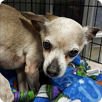 Chihuahua Mix Dog for adoption in Pottsville, Pennsylvania - Smokey