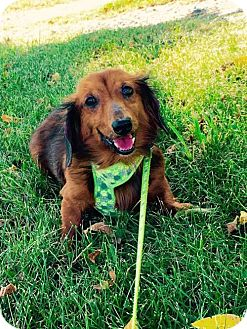 Dachshund Dog for adoption in Columbia, Maryland - Clifford