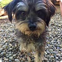 Silky Terrier/Norfolk Terrier Mix Dog for adoption in Santa Ana, California - Moby
