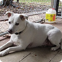 Jack Russell Terrier/Rat Terrier Mix Dog for adoption in Jackson, Missouri - BUDDY