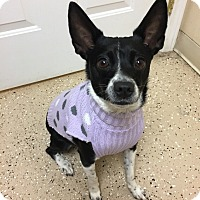 Terrier (Unknown Type, Small) Mix Dog for adoption in Circleville, Ohio - Gigi
