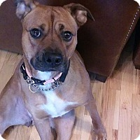 Adopt A Pet :: Rox - Akron, OH