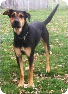 Isiah Adopted Dog Latrobe Pa German Shepherd Dog Doberman Pinscher Mix