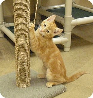 Domestic Shorthair Kitten for adoption in Wickenburg, Arizona - Puddles