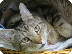 Domestic Shorthair Cat for adoption in Quilcene, Washington - TJ