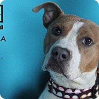 Adopt A Pet :: Keela - Chicago, IL