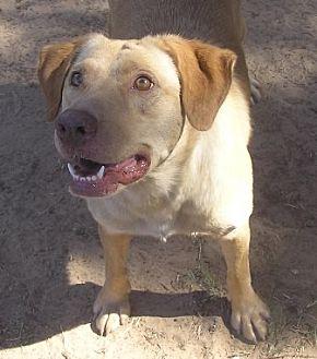 Labrador Retriever Mix Dog for adoption in Cross Roads, Texas - Liberty
