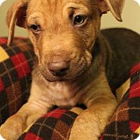 Adopt A Pet :: Buster - Sudbury, MA