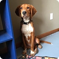Adopt A Pet :: chase - Lakeville, MN
