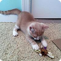 Adopt A Pet :: Pikachu - Herndon, VA