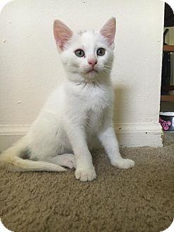 American Shorthair Kitten for adoption in Florence, Kentucky - Darla