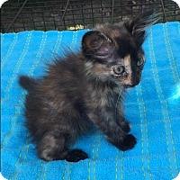 Domestic Mediumhair Cat for adoption in Bogalusa, Louisiana - Aurora