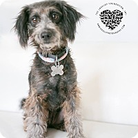 Poodle (Standard)/Terrier (Unknown Type, Small) Mix Dog for adoption in Inglewood, California - Coco