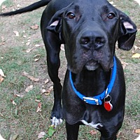 Great Dane Dog for adoption in Pearl River, New York - Buddy #2