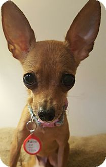 Chihuahua Mix Dog for adoption in Los Angeles, California - Aurora 3.6 lbs.