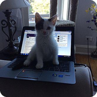 Domestic Mediumhair Kitten for adoption in Frankfort, Illinois - Victoria