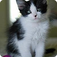 Domestic Shorthair Kitten for adoption in San Carlos, California - Baby J