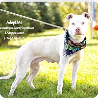 American Pit Bull Terrier Mix Dog for adoption in Zanesville, Ohio - Amelia - Urgent!