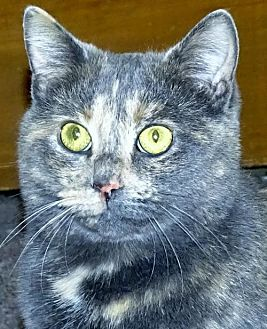 Domestic Mediumhair Cat for adoption in Mt. Vernon, New York - Lil Mom