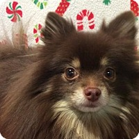 Pomeranian Dog for adoption in Pomona, California - I1265224