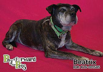 English Bulldog/Shar Pei Mix Dog for adoption in Sharon Center, Ohio - Beatrix
