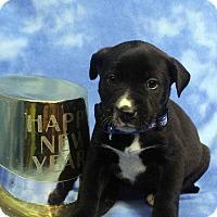 Adopt A Pet :: TULA - Westminster, CO