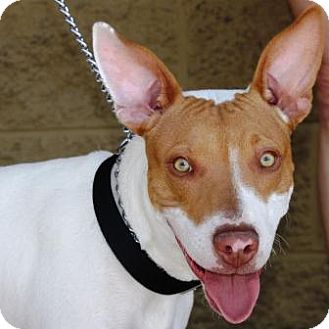 Pharaoh Hound/Terrier (Unknown Type, Medium) Mix Puppy for adoption in Gilbert, Arizona - Henry