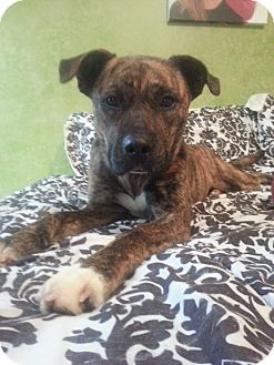 Boxer Mix Dog for adoption in Hilliard, Ohio - Rue
