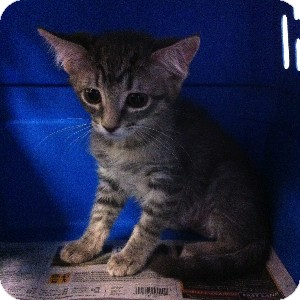 Domestic Shorthair Kitten for adoption in Gilbert, Arizona - Cheyenne