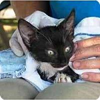 Adopt A Pet :: Tuxedo-b/w kitten - Island Park, NY