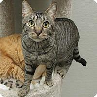 Adopt A Pet :: Simba - Gilbert, AZ