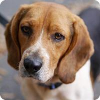 Adopt A Pet :: Freddie  **ADOPTION PENDING** - Fairfax, VA