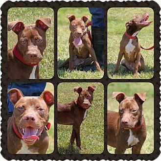 American Pit Bull Terrier/Terrier (Unknown Type, Medium) Mix Dog for adoption in Tom Bean, Texas - RADAR