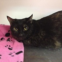 Domestic Shorthair Cat for adoption in Baton Rouge, Louisiana - Kizzy